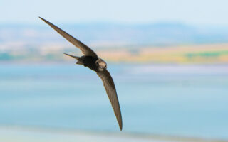 A swift flying