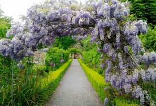 Image of Wisteria archway