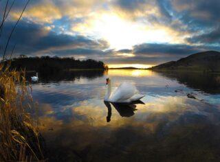 Swans at Lough Gur